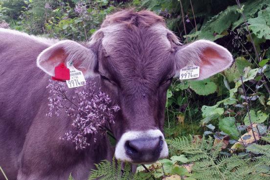 Kuh auf der Stamser Alm