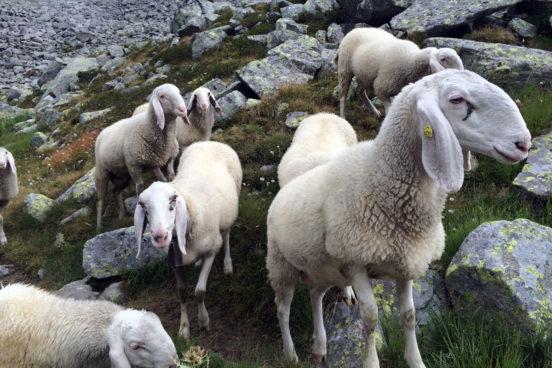 Schafe am Refugio Tonolini
