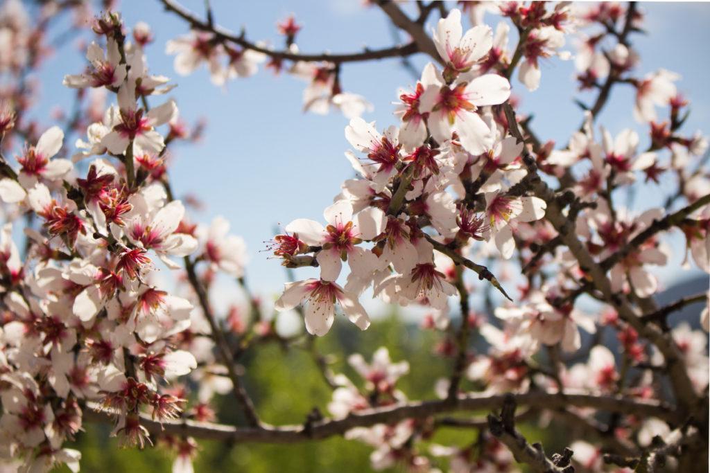 Kirschblüten am Wegesrand
