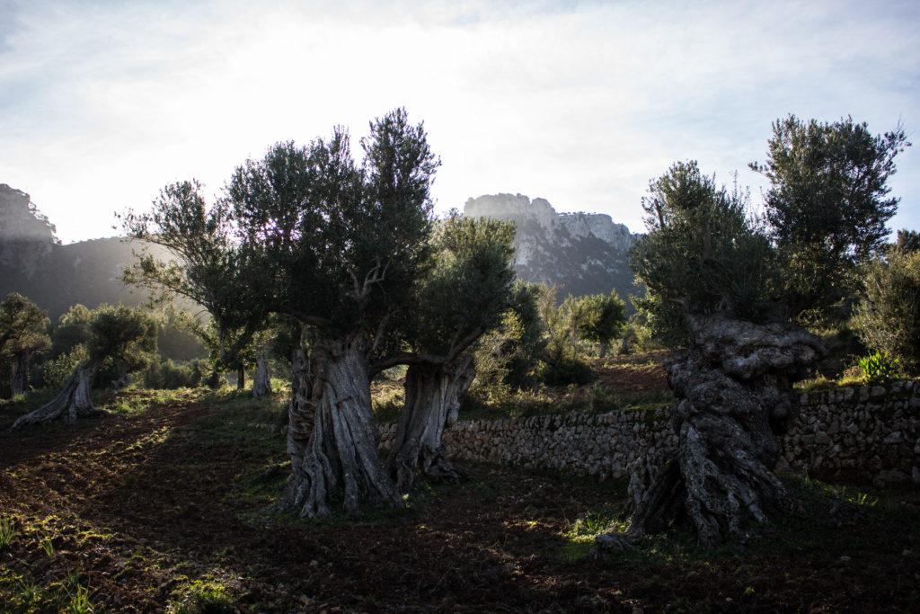 Terrassierte Olivenbaumplantagen zu Füßen der Berge