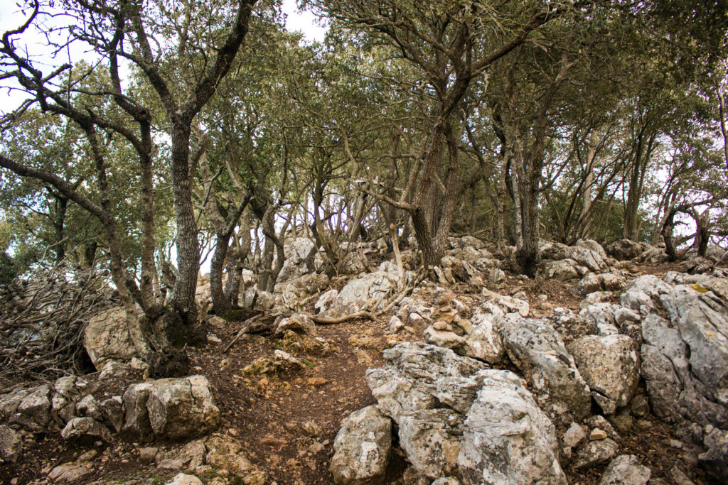 Dich mit Steineichen ist der Bergrücken bewachsen