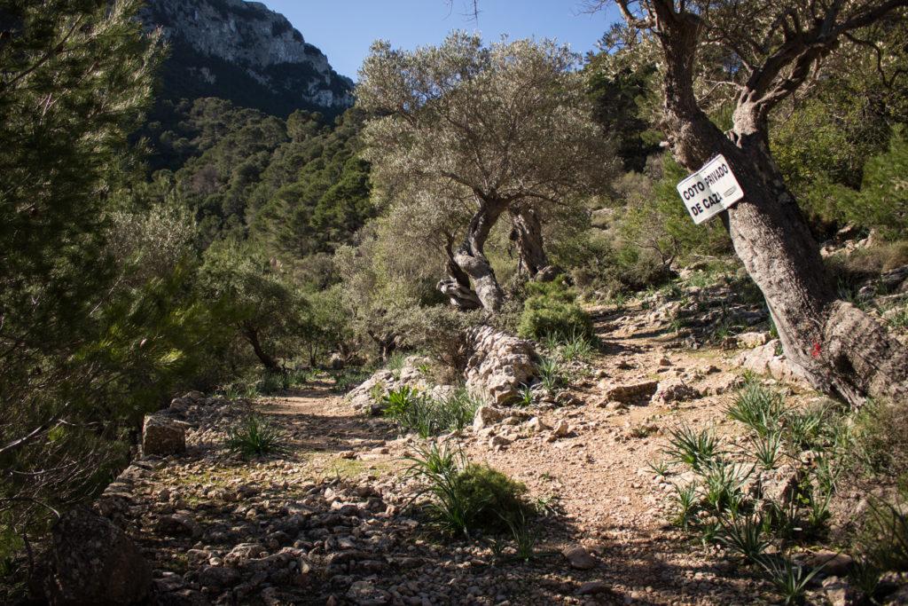 Verwilderte Olivenbaumhaine au dem Weg nach Deia